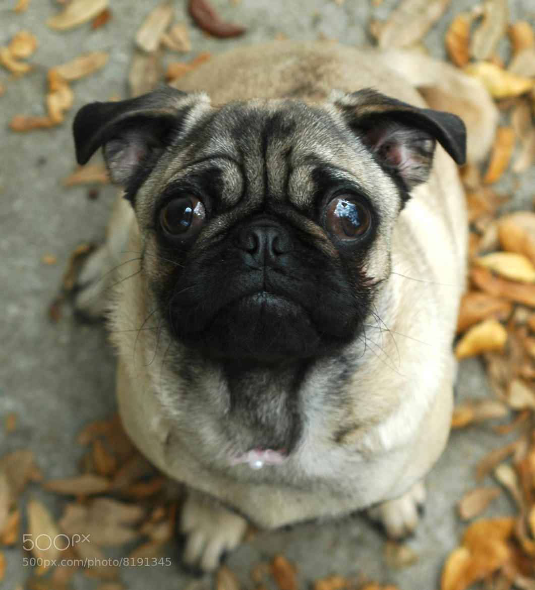 Photograph Pug with Expressive Face by Jesse  Kunerth on 500px