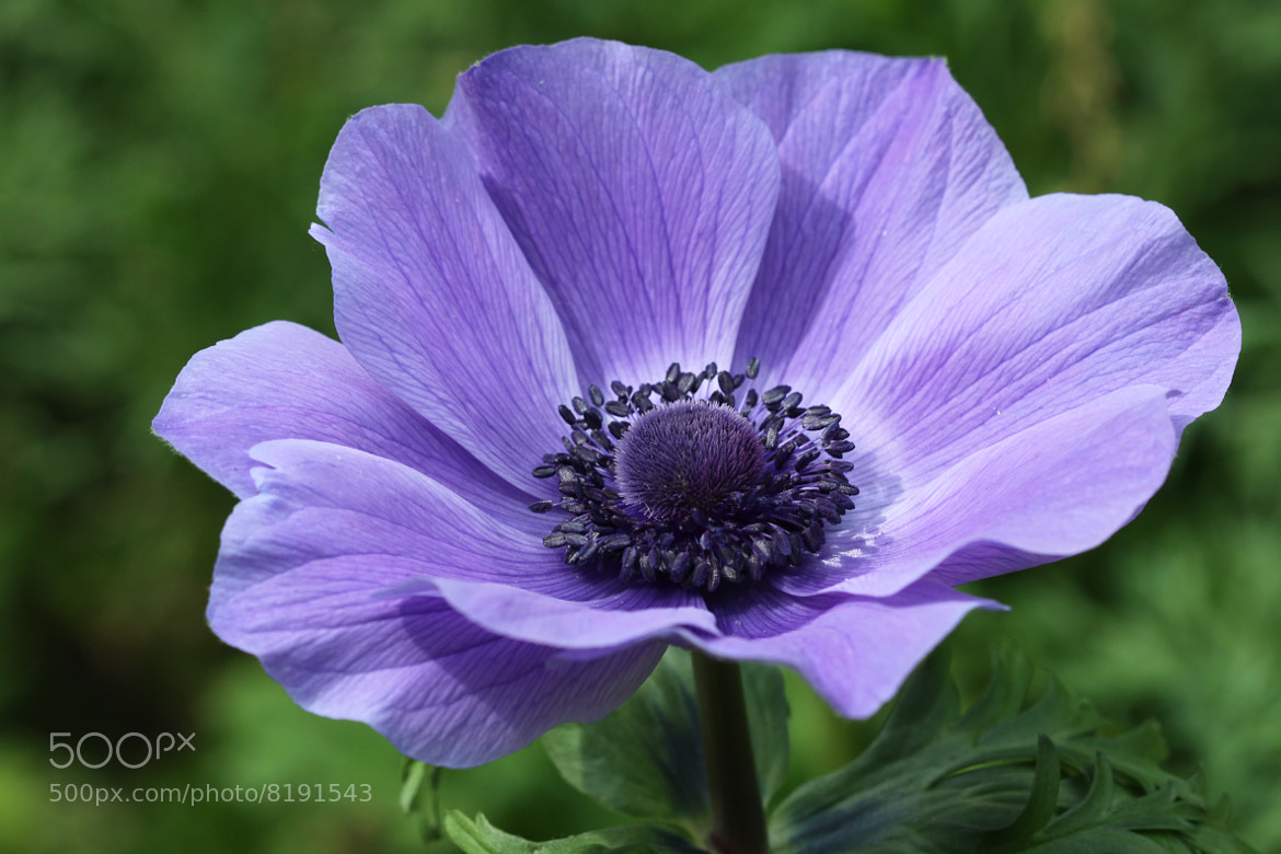 Photograph Anemone by Kenneth  Maurer on 500px