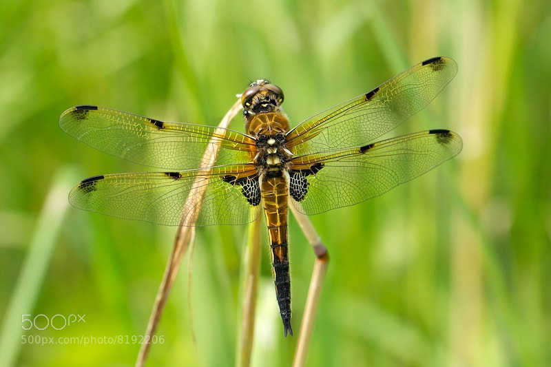 Photograph Dragonfly by Susie Knudsen on 500px