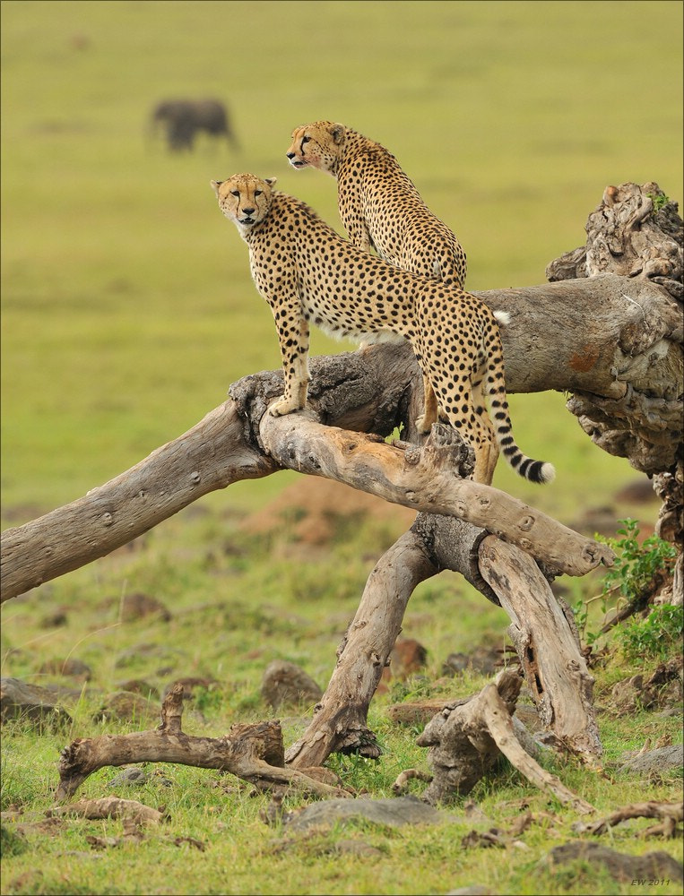 Photograph Cheetahs looking out for prey by Elmar Weiss on 500px