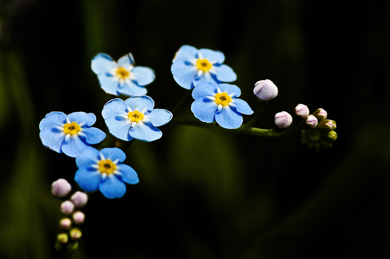 Photograph Forget-me-not by Susie Knudsen on 500px