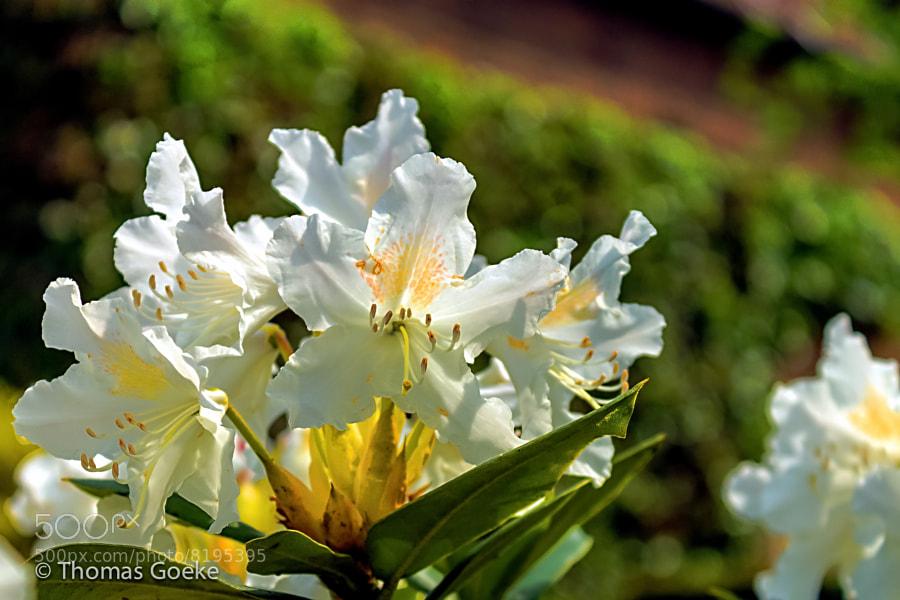 Blüten by Thomas Goeke (thomasgoeke) on 500px.com