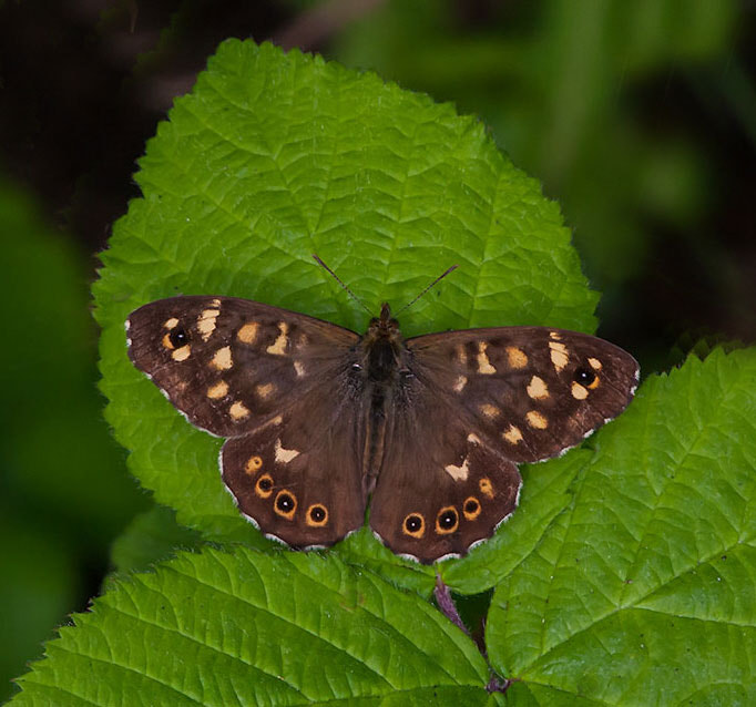 Photograph speckled wood butterfly by dave blackwell on 500px