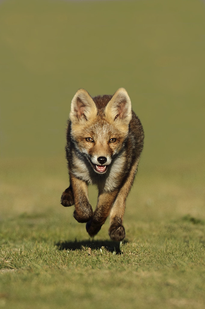 Photograph Little red fox running by Menno Schaefer on 500px