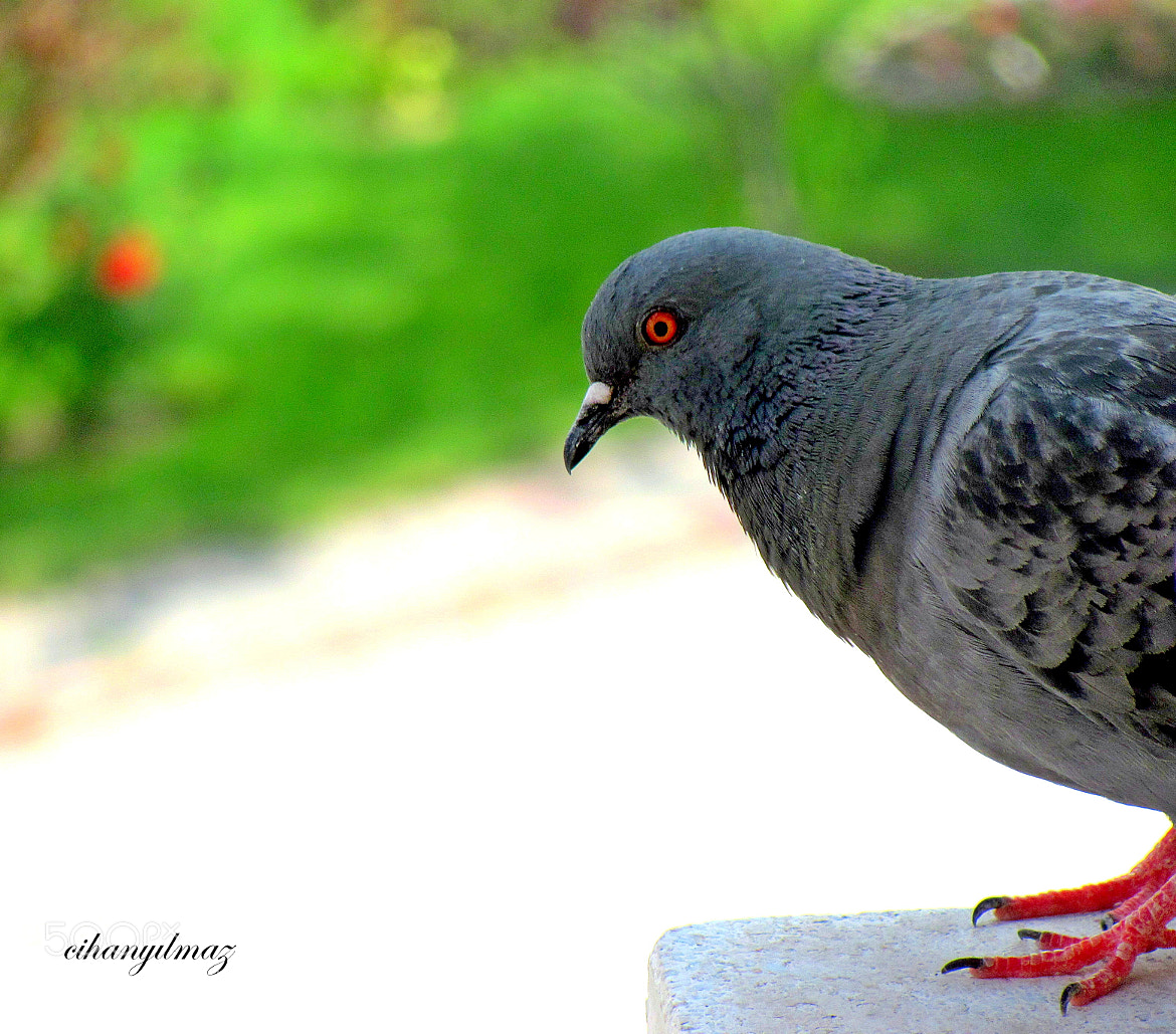 Photograph pigeon by Cihan Yılmaz on 500px