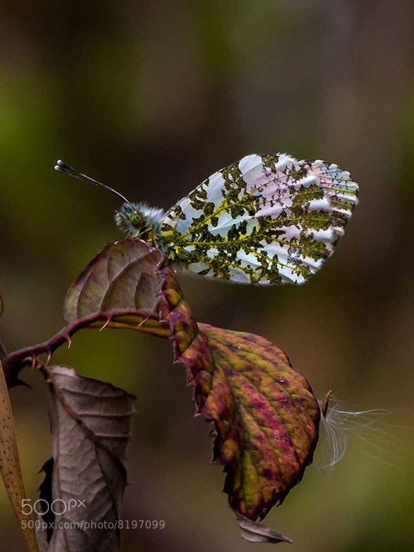Photograph orange tip  by dave blackwell on 500px