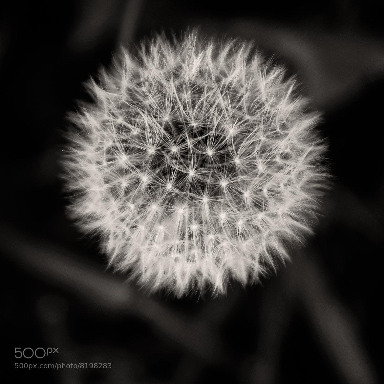 Photograph Dandelion by Wim De Block on 500px