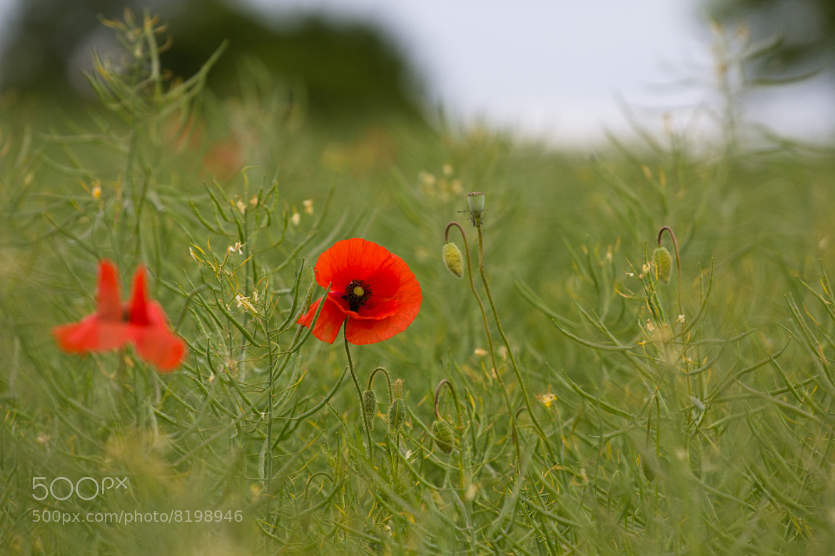 Photograph Poppies by Aleksej Edin on 500px
