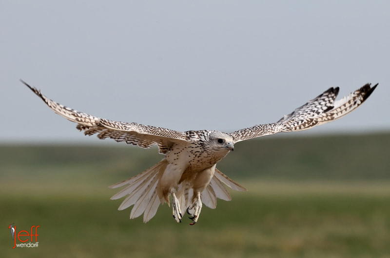 Photograph Gyrfalcon by Jeff Wendorff on 500px