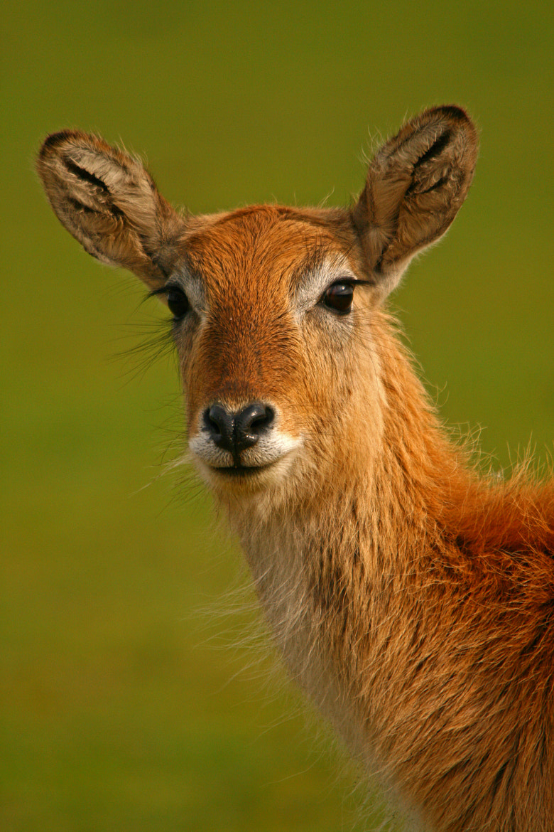 Photograph Kafue Lechwe by Jacqueline Bamber on 500px