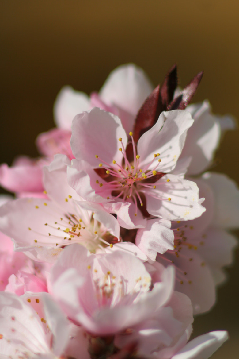 Photograph Apricot Blossom by Marc St on 500px