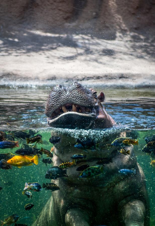Happy Hippo. San Antonio Zoo