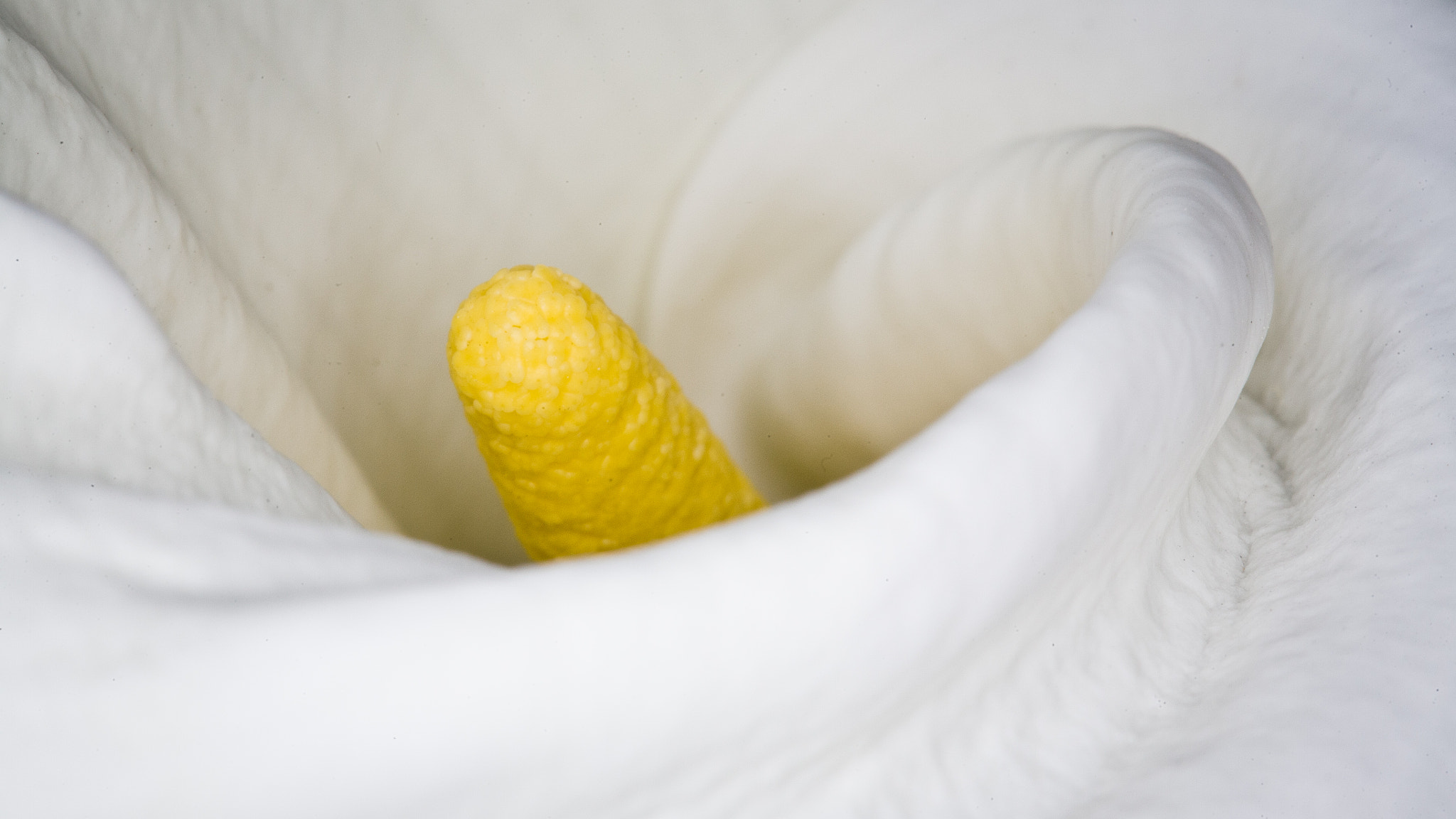 Photograph Calla Lily #77 by Michael Hocter on 500px