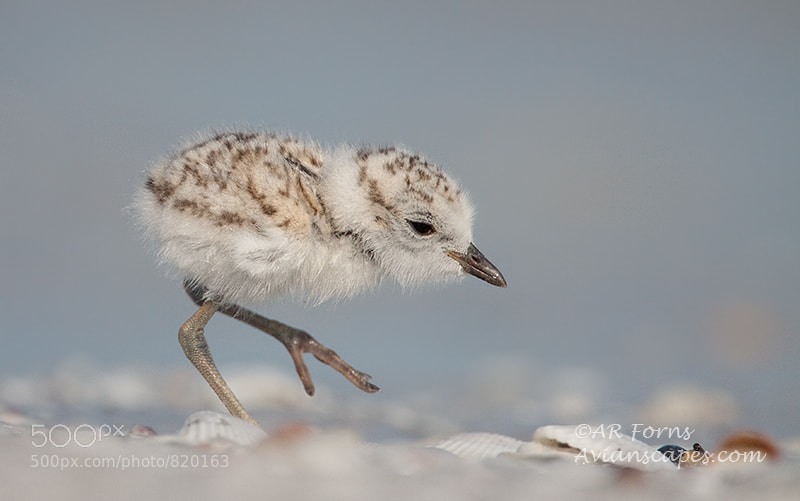 Photograph Snowy Plover Chick by Alfred Forns on 500px