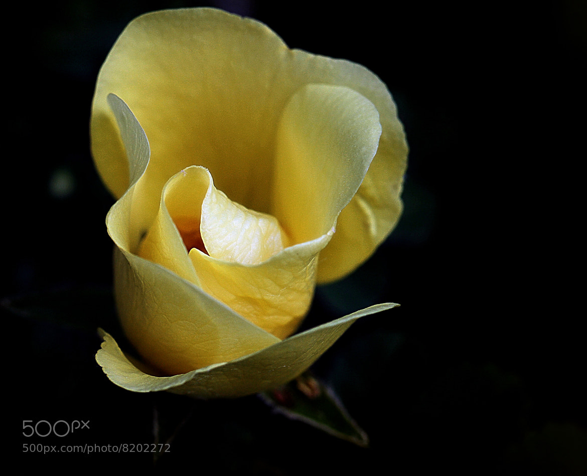 Photograph Old English Rose by Wim Bolsens on 500px