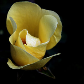 Old English Rose by Wim Bolsens (mozzie)) on 500px.com