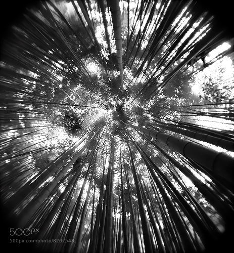 Photograph Forest of bamboo B&W by kanae iyo on 500px