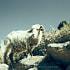 Sheep at Taquile Island