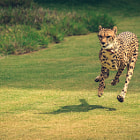 Постер, плакат: Cheetah Flying Through the Air