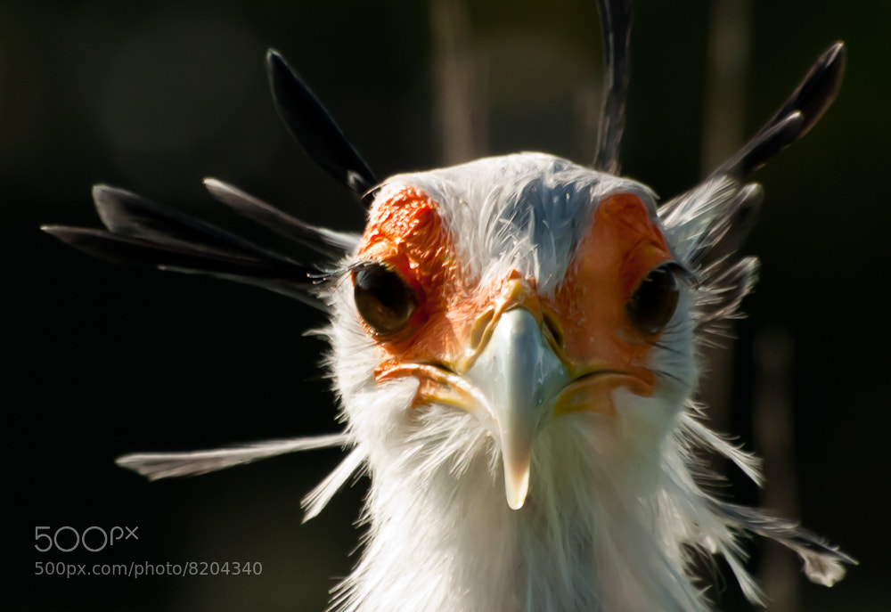 Photograph Secretary bird  by Paul Howcroft on 500px