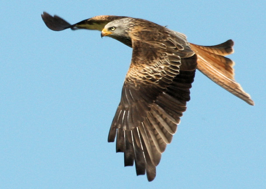 Photograph Red Kite by Paul Howcroft on 500px