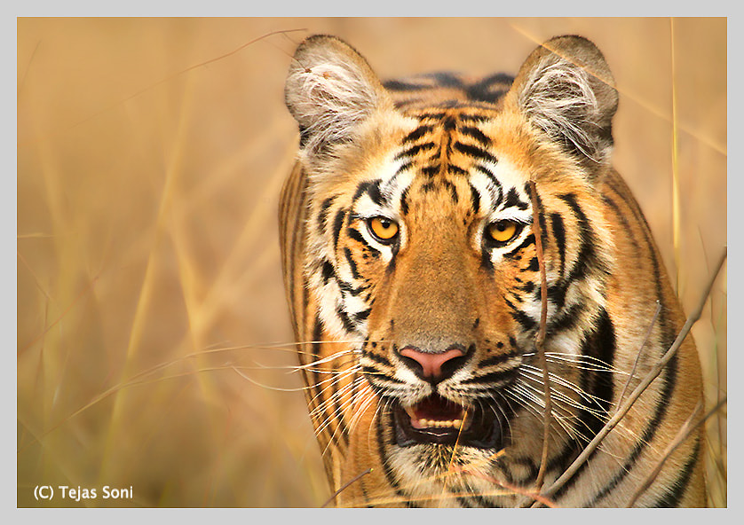 "Photograph ""Tiger Cub"" by Tejas Soni on 500px"