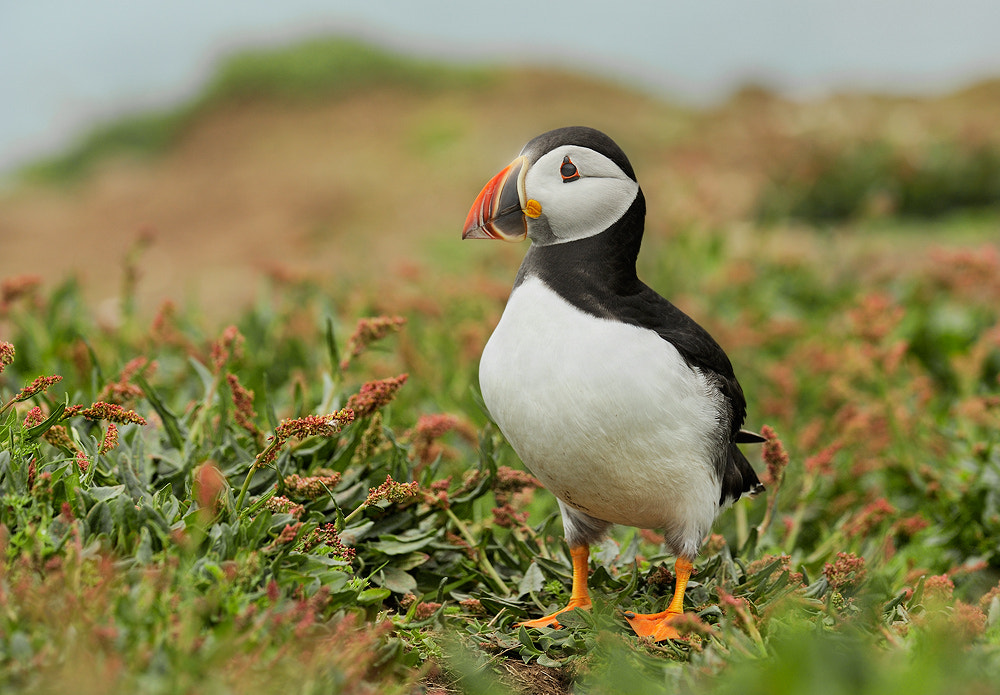Photograph Another Puffin by Geoffrey Baker on 500px