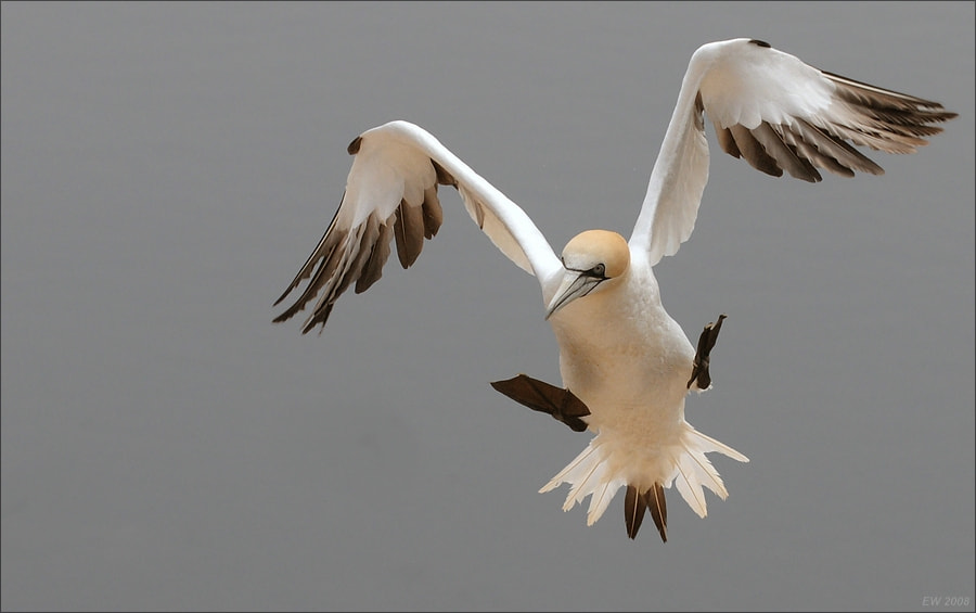 Photograph Northern Gannet ready for landing by Elmar Weiss on 500px