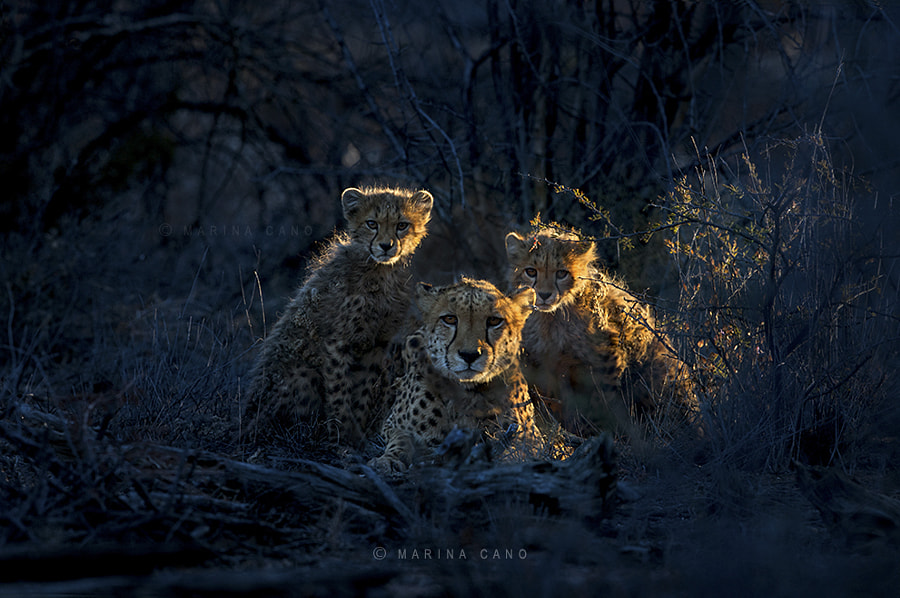Jacomina & cubs by Marina Cano on 500px.com