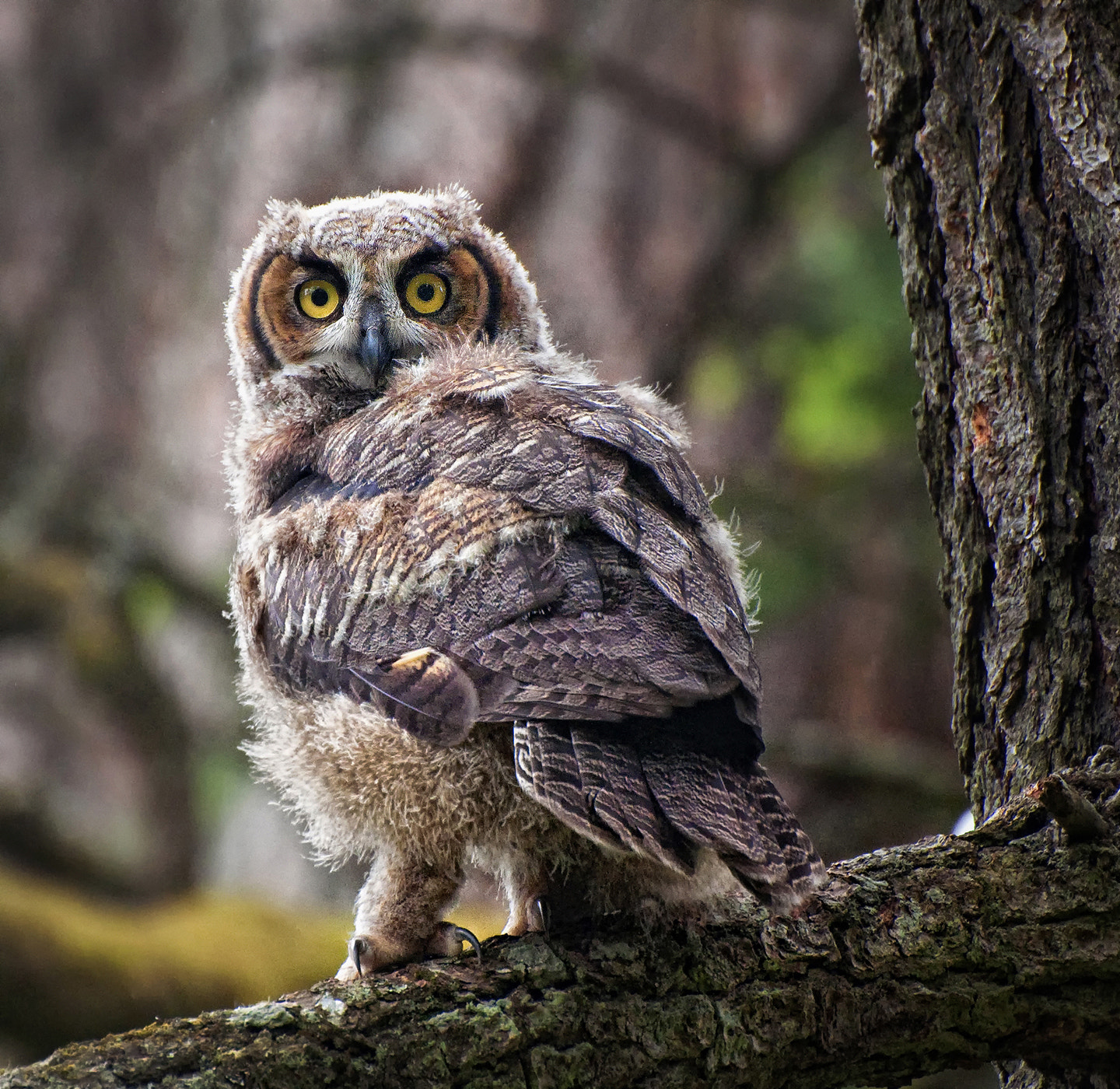Photograph Juvenile Great Horned Owl by Derek Galon on 500px