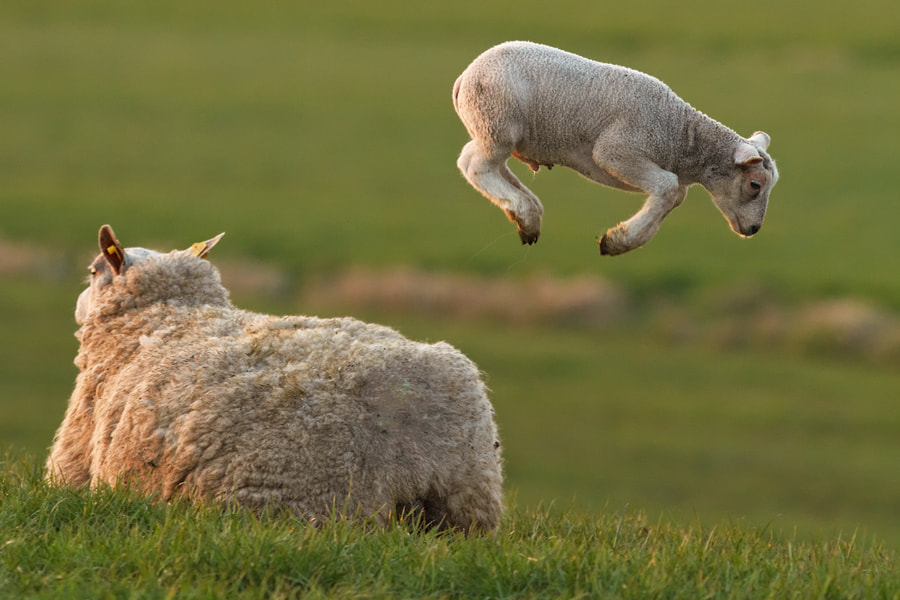 Photograph Levitating Lamb by Roeselien Raimond on 500px