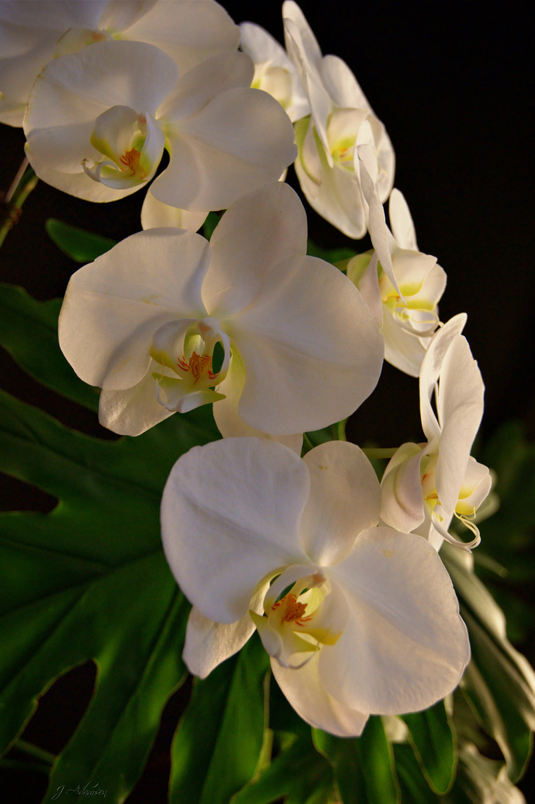 Photograph Forever Yours ~ Orchid Phalaenopsis by Julia Adamson on 500px