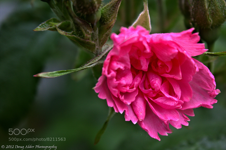 Photograph Wild Rose Beauty by Doug Alder on 500px
