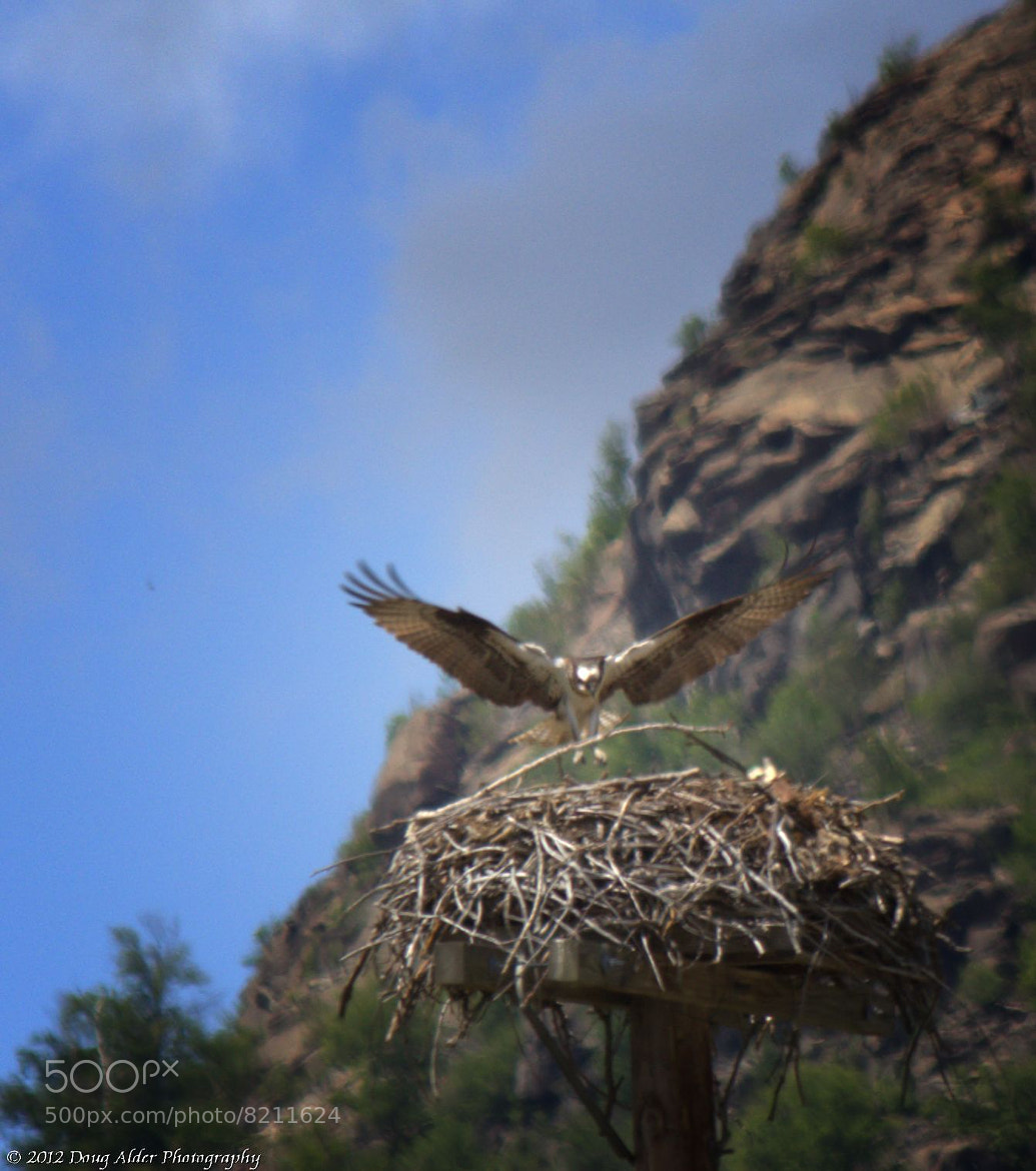 Photograph Osprey Landing by Doug Alder on 500px