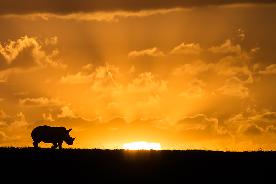 Rhino on the Sunset Ridge by Becky Swora on 500px.com