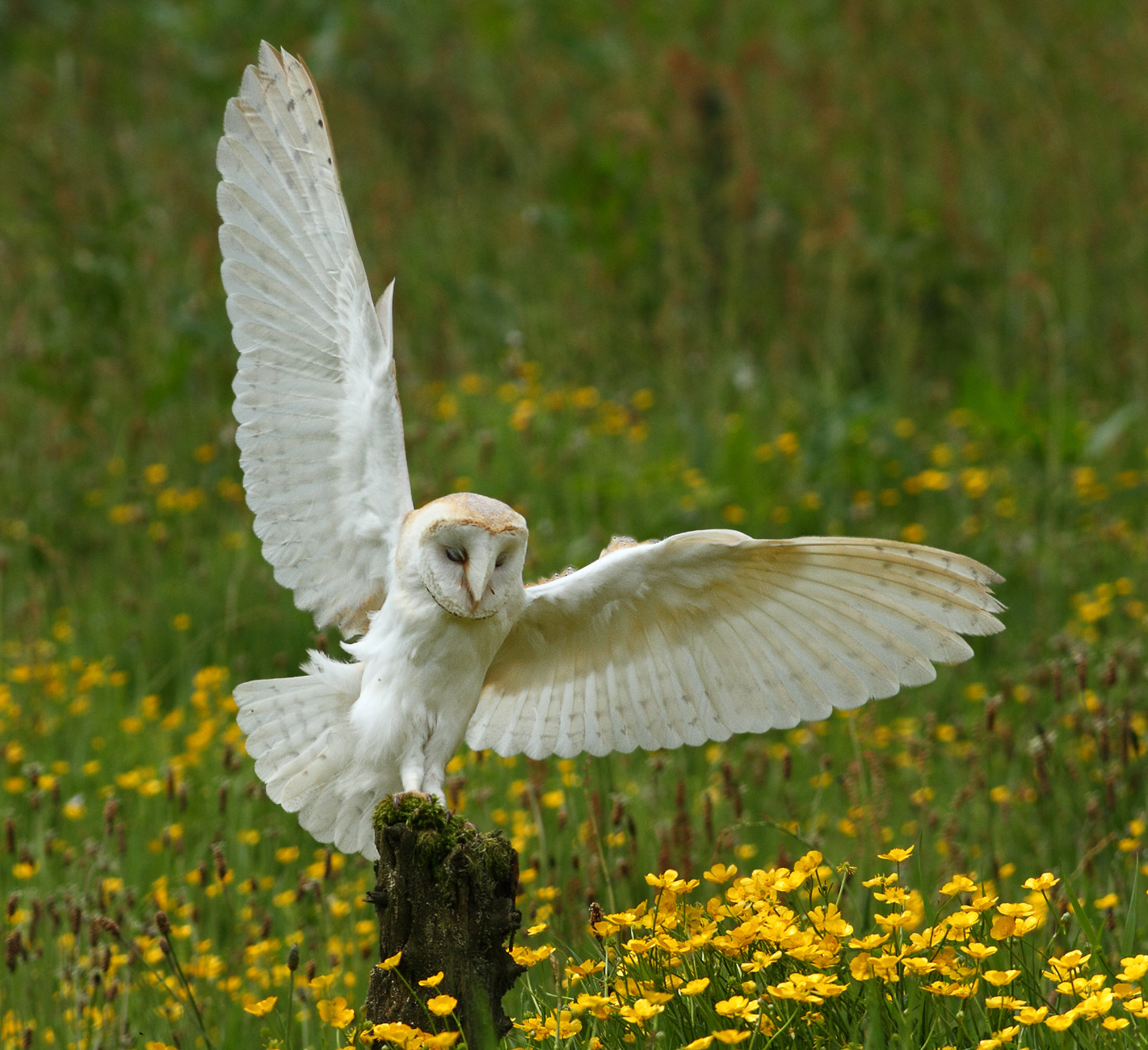 Photograph Barn Owl by Vic.  Parsons. on 500px