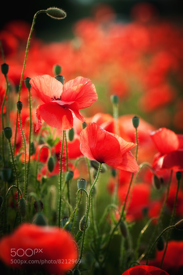 Photograph Poppies by Bernd Kinghorst on 500px