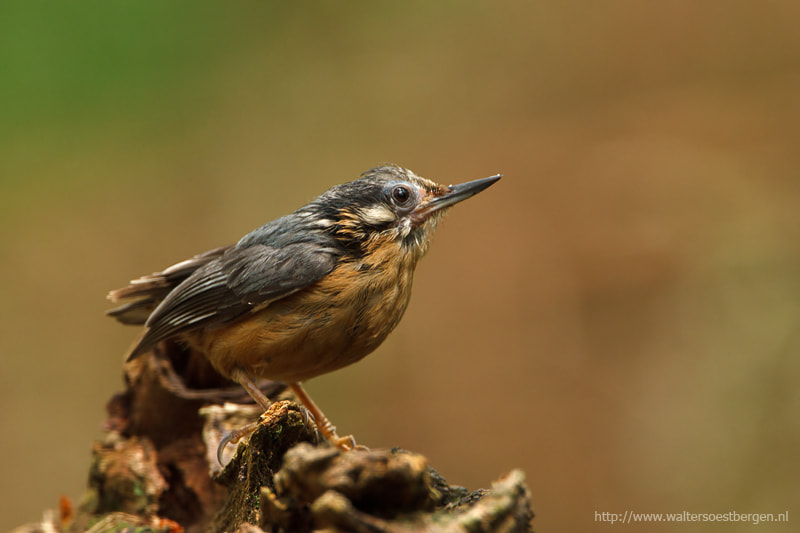 Photograph Juvenile Nuthatch by Walter Soestbergen on 500px