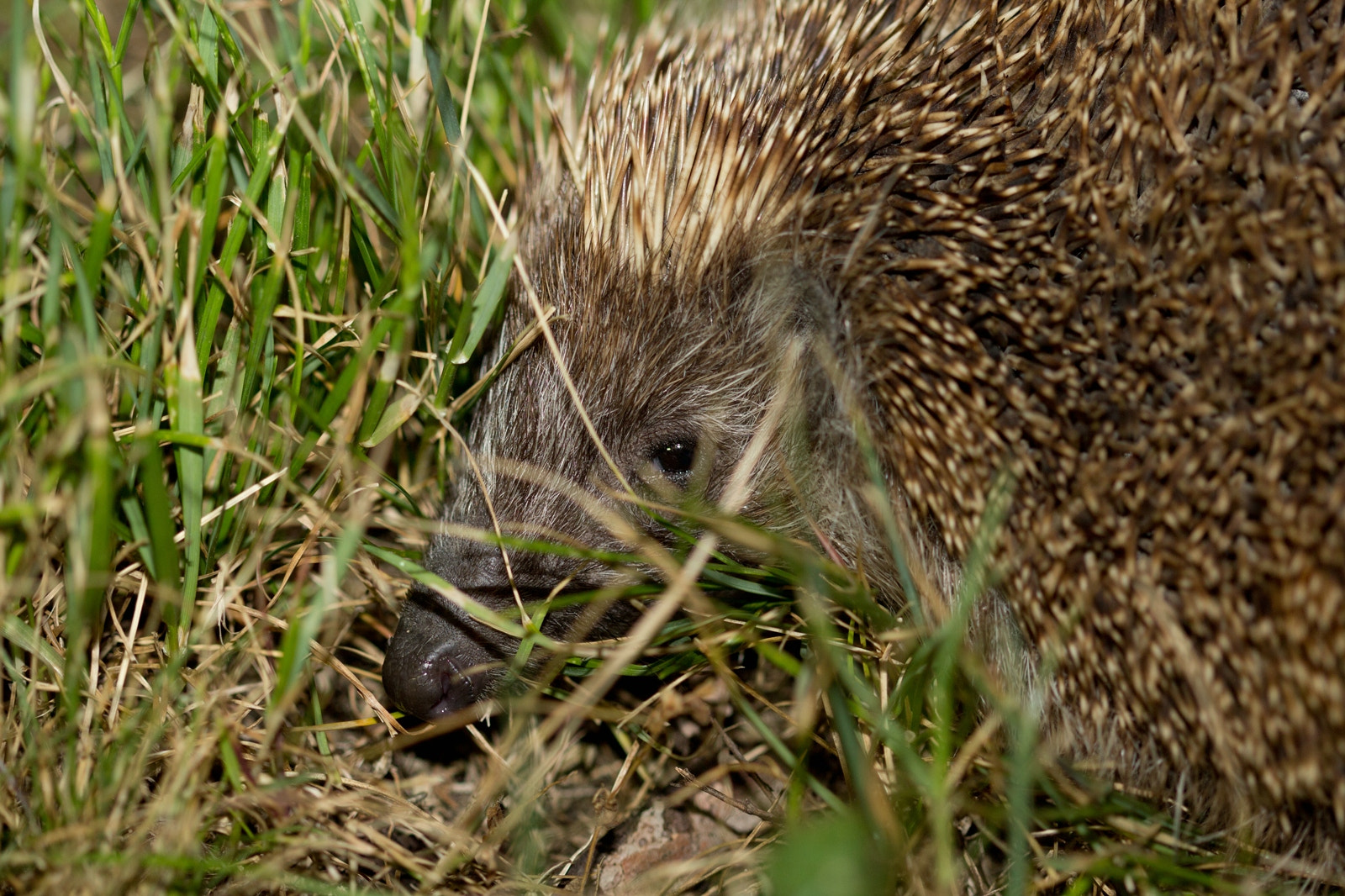 Photograph Igel in der Nacht by Georg Ivan on 500px