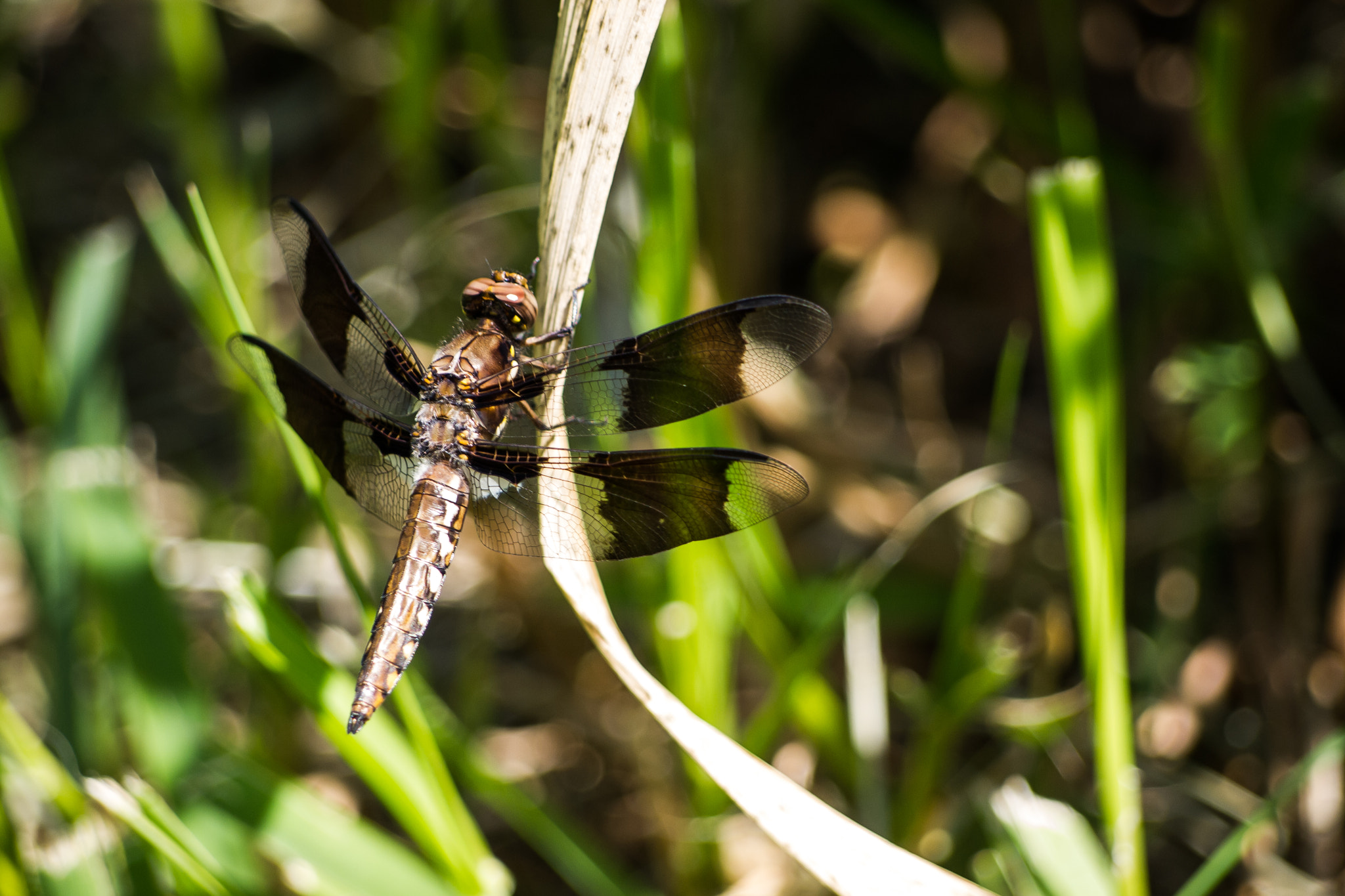 Photograph Female Common Whitetail Skimmer Dragonfly by Ryan Kimber on 500px