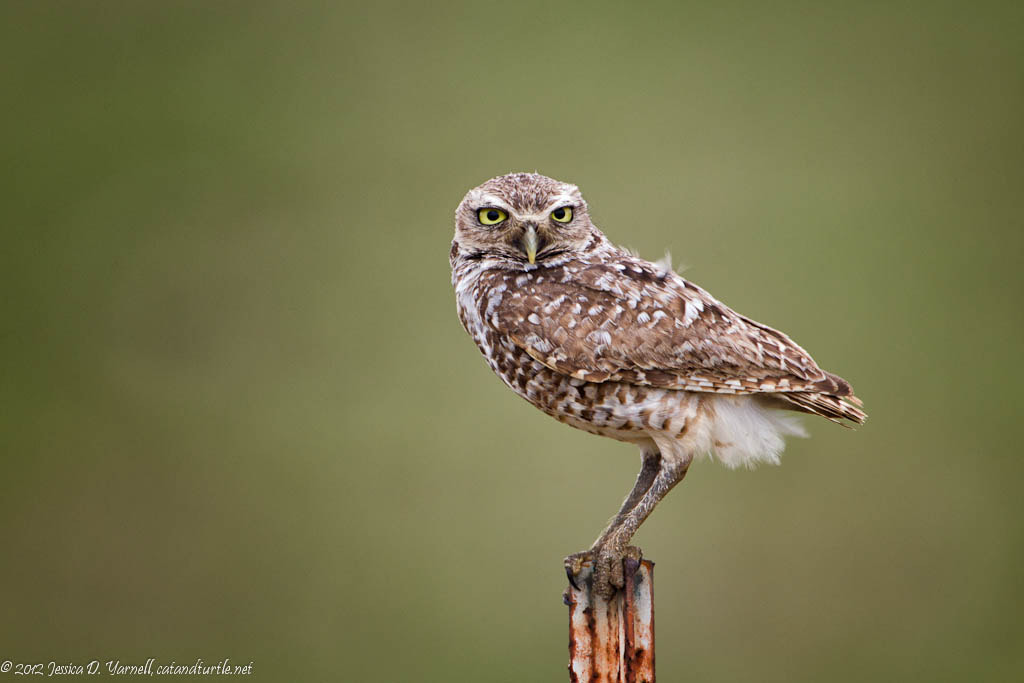 Photograph Burrowing Owl on Rusty Post by Jess Yarnell on 500px