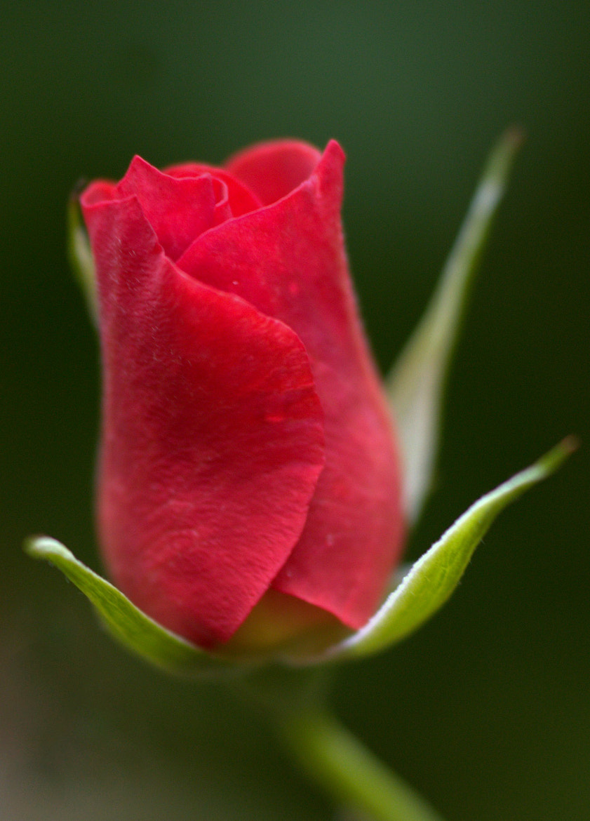 Photograph A Red Rose by Virginia Morales-Autenrieth on 500px