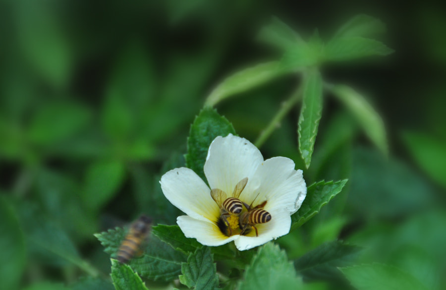 Photograph Bees Pollination 3 by Khoo Boo Chuan on 500px