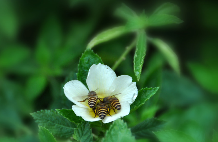 Photograph Bees Pollination 4 by Khoo Boo Chuan on 500px
