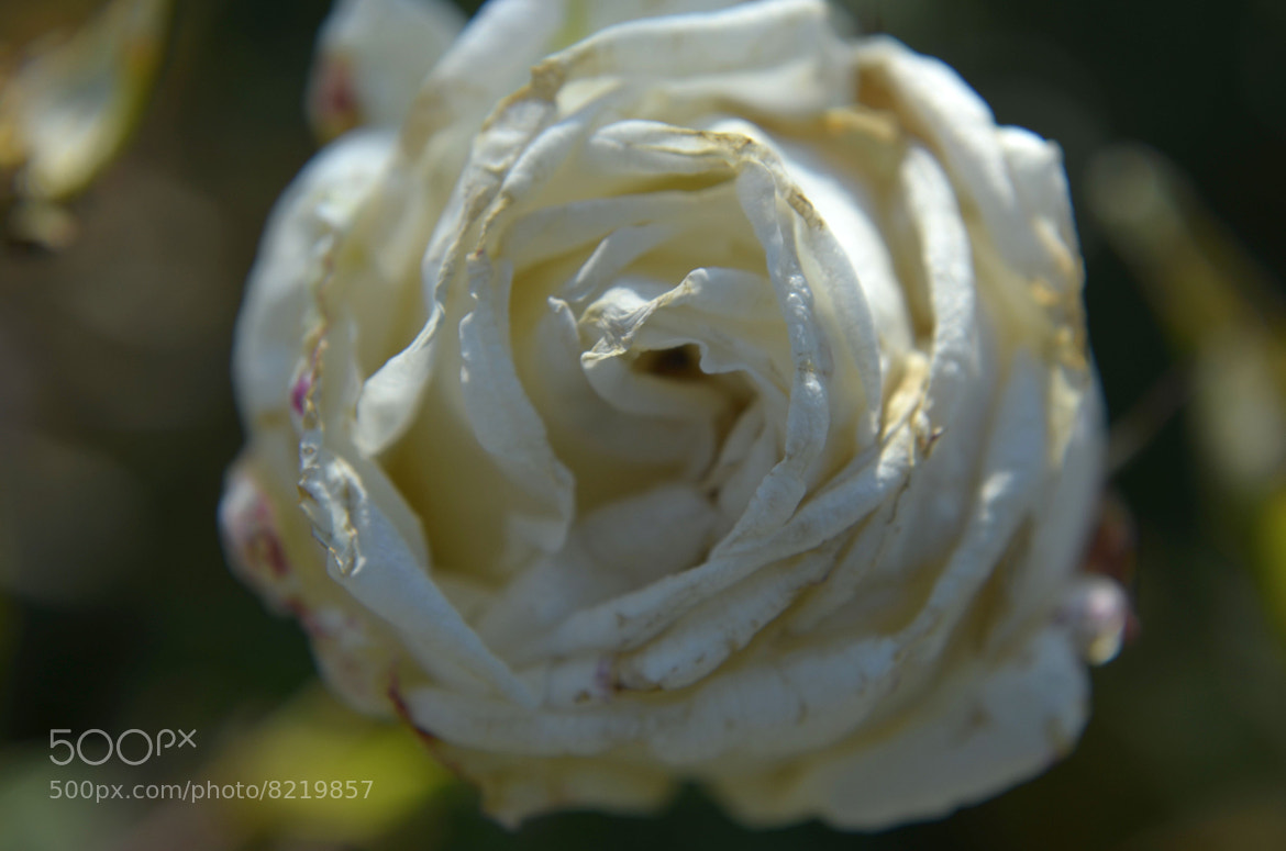 Photograph WhiteRose by Vineeth M on 500px