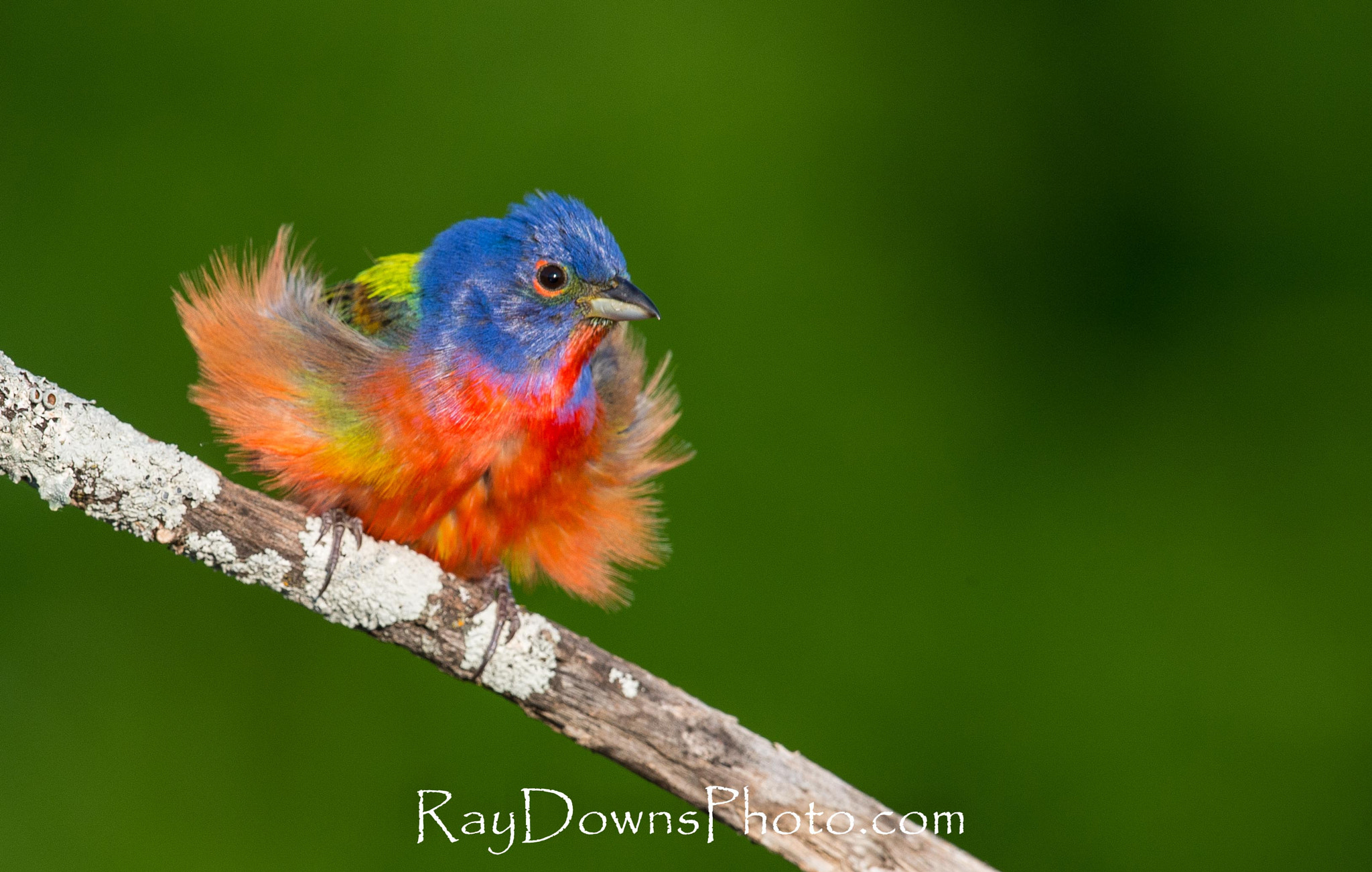 Photograph Painted Bunting ready to fight... by Ray Downs on 500px
