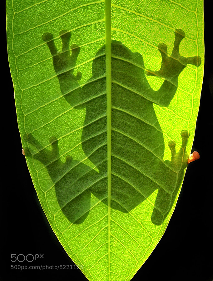 silhoutte of a frog -- backlight