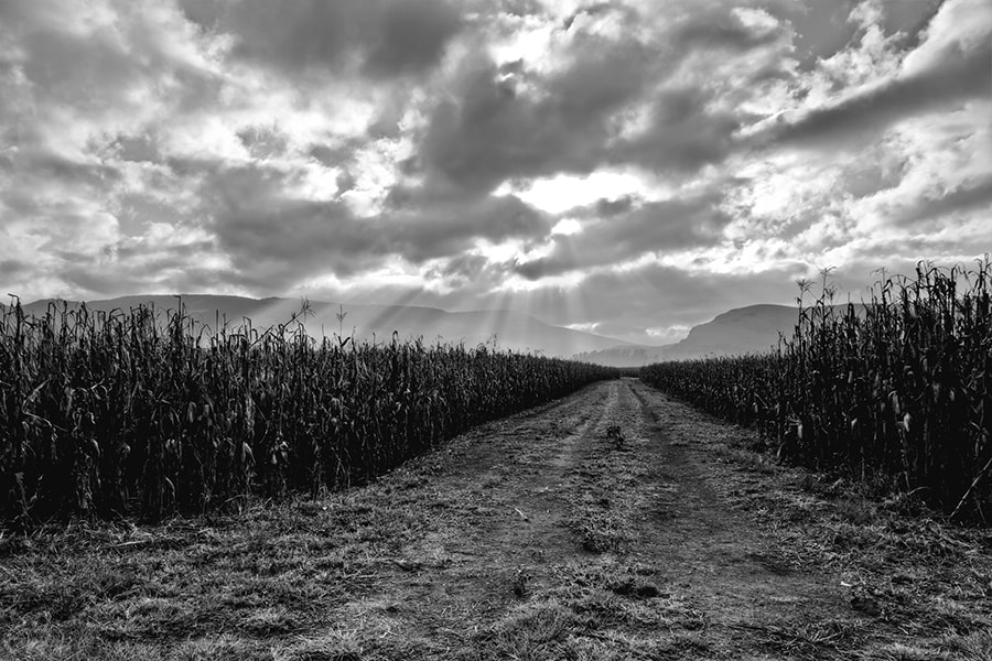 Photograph Maize fields by Ian  Damerell on 500px