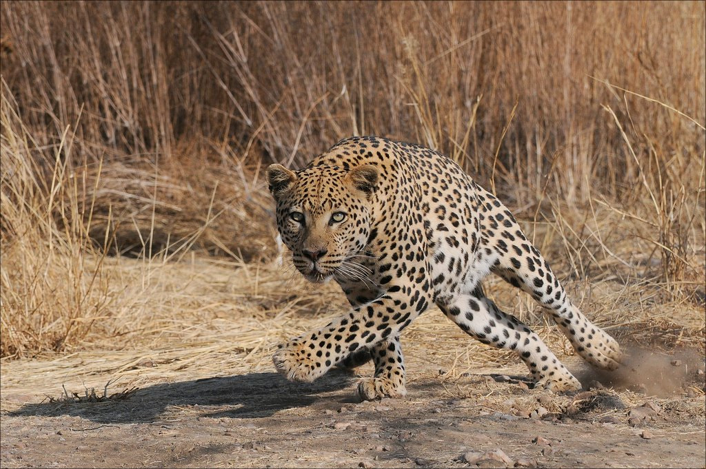 Photograph Leopard Action by Elmar Weiss on 500px