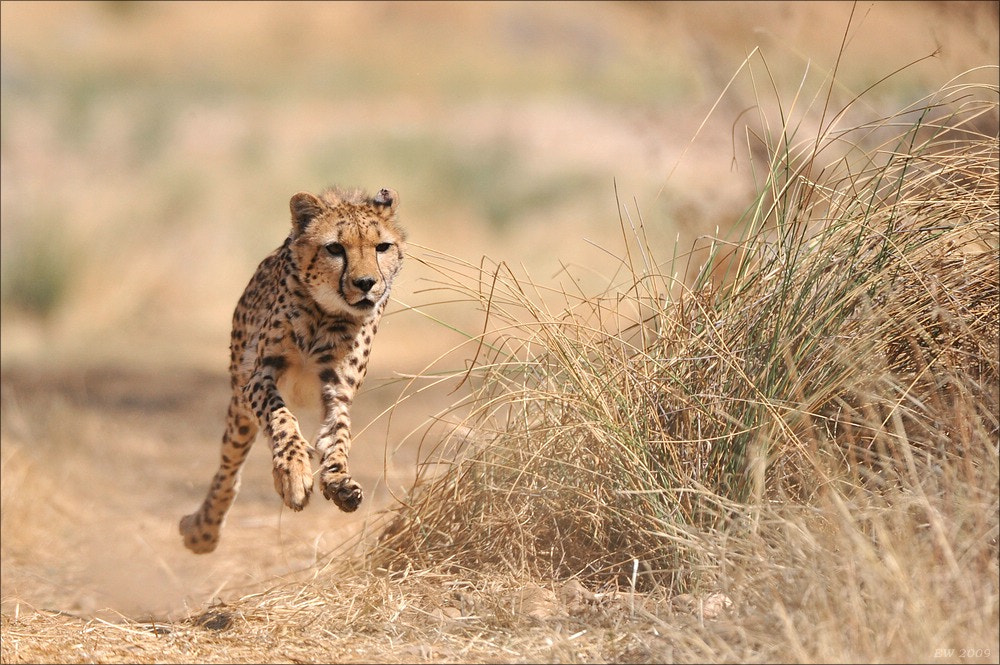 Photograph Cheetah Sprint by Elmar Weiss on 500px